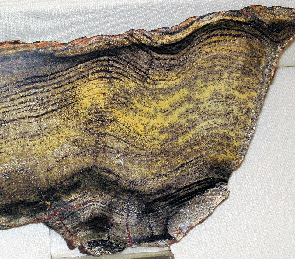 Stromatolite (Strelley Pool Formation, Paleoarchean, 3.35-3.46 Ga; East Strelley Greenstone Belt, Pilbara Craton, Western Australia) 1 (17346619166)