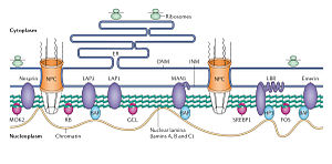 Nuclear lamina - Image: Structure and function of the nuclear lamina
