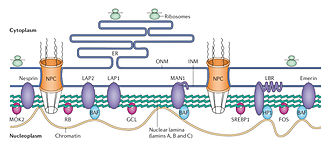Nuclear lamina - Structure and function of the nuclear lamina. The nuclear lamina lies on the inner surface of the inner nuclear membrane (INM), where it serves to maintain nuclear stability, organize chromatin and bind nuclear pore complexes (NPCs) and a steadily growing list of nuclear envelope proteins (purple) and transcription factors (pink). Nuclear envelope proteins that are bound to the lamina include nesprin, emerin, lamina-associated proteins 1 and 2 (LAP1 and LAP2), the lamin B receptor (LBR) and MAN1. Transcription factors that bind to the lamina include the retinoblastoma transcriptional regulator (RB), germ cell-less (GCL), sterol response element binding protein (SREBP1), FOS and MOK2. Barrier to autointegration factor (BAF) is a chromatin-associated protein that also binds to the nuclear lamina and several of the aforementioned nuclear envelope proteins. Heterochromatin protein 1 (HP1) binds both chromatin and the LBR. ONM, outer nuclear membrane.