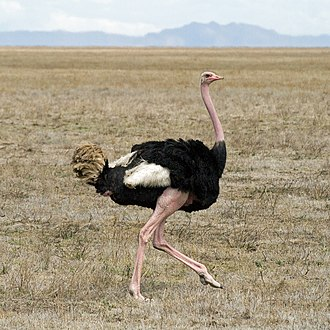 Bipedalism - Image: Struthio camelus in Serengeti crop