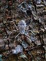 Subadult female Herennia multipuncta.jpg