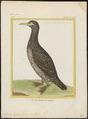 Sula bassana - 1700-1880 - Print - Iconographia Zoologica - Special Collections University of Amsterdam - UBA01 IZ18000045.tif
