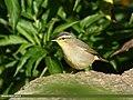 Sulphur-bellied Warbler (Phylloscopus griseolus) (32752307988).jpg