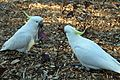 Sulphur-crested Cockatoo - Flickr - GregTheBusker.jpg