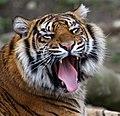 Sumatran Tiger 2a (6964679840).jpg