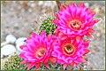 Summer Cactus Flowers (44411470272).jpg