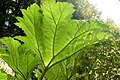 Sunlight on a gunnera leaf, 'Quarry Garden', Belsay estate - geograph.org.uk - 1384733.jpg
