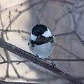 Svartmes-9979 - Flickr - Ragnhild & Neil Crawford.jpg