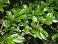 Syzygium buxifolium adeku02.jpg