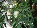 Syzygium jambos (5592458879).jpg