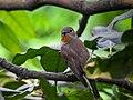 Taiga flycatcher 07.jpg