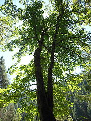 Tall bigleaf maple.JPG