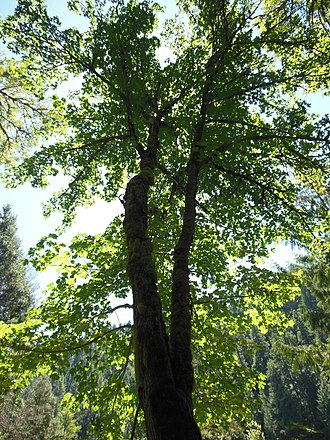Acer macrophyllum - Bigleaf maple in the McKenzie River valley in western Oregon