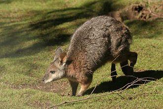 Tammar wallaby - Tammar wallaby in motion