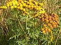 Tanacetum vulgare (4536291699).jpg