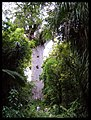 Tane Mahuta (Lord of the Forest).jpg