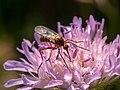 Tanzfliege Rhamphomyia Acker-Witwenblume Knautia arvensis 5211781.jpg