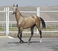 Tasirli, golden Akhal Teke stallion at the presidential stables in Ashgabat, Turkmenistan3.jpg