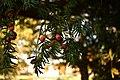 Taxus baccata (Taxaceae) 3.jpg