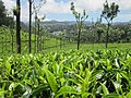Tea Gardens at Munnar, Kerala 2.jpg