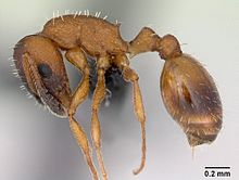 Temnothorax albipennis casent0173192 profile 1.jpg