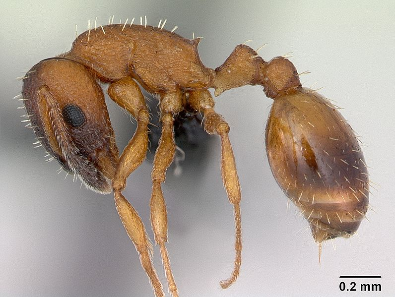 File:Temnothorax albipennis casent0173192 profile 1.jpg