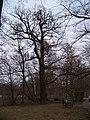 Teplice, zámecká zahrada, strom u Horního rybníka.jpg