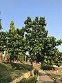 Terminalia catappa park Gokulam Mysore .jpeg