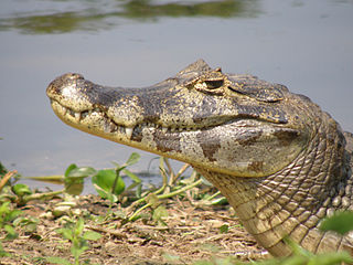 Huvudet på en pantanalkajman, Caiman yacare.