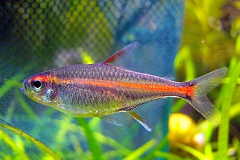 English: Tetra Glowlight Hemigrammus erythrozonus