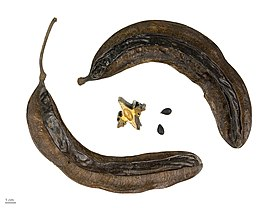 Tetrapleura tetraptera - Wikipedia