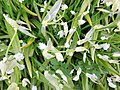 The Few-flowered Garlic detail, Allium paradoxum, Kilmaurs, East Ayrshire.jpg