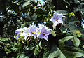 The Giant Star Potato Tree - Solanum Macranthum 03.jpg