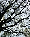 The Oak 300 years old.Crown and branches.jpg