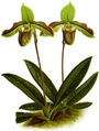 The Orchid Album-01-0113-0037-Cyripedium chloroneurum-crop.png