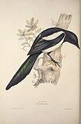 The birds of Europe (1837) (14751991055).jpg