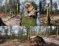 The impressive beechtree with the Spongipellis pachyodon (Spongy Toothed Polypore, D= Breitstacheliger Schwammporling, F= Polyporus denté, NL= Getande kaaszwam) was demolished by a tumbling Beech at 30 March 2015. Now - panoramio.jpg