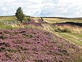 The track to Stobb Cross with heather in bloom - geograph.org.uk - 537388.jpg