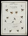 Thirteen flies (Sylvicolæ species). Coloured etching by M. H Wellcome V0022484ER.jpg