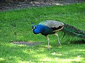 This peacock was wandering around a small sculpture garden (540191815).jpg