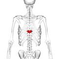 Thoracic vertebra 9 posterior.png