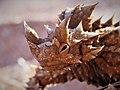Thorny Devil (Coolgardie).jpg