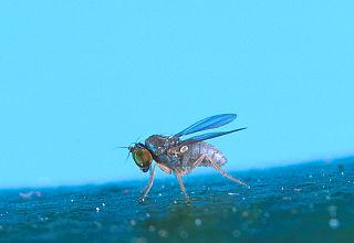 <i>Thrypticus</i> Genus of flies