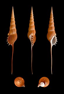 Rostellariidae family of molluscs