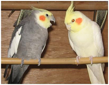 Cockatiel - Wikipedia