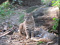 Tierpark Cottbus Rotluchse.JPG