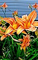 Tigerlilies - Flickr - SurFeRGiRL30.jpg