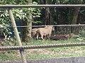 Tigers in Zoo Negara Malaysia (2).jpg