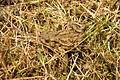 Toad near Venford Reservoir (4718).jpg