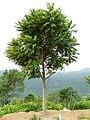 Toona ciliata near Coonoor.jpg